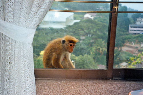 Affe am Hotelfenster in Kandy